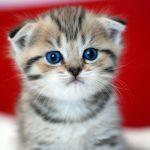 bé mèo xinh xắn kaiwai Dương