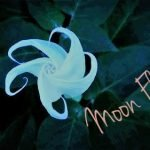 Hoa Mặt Trăng