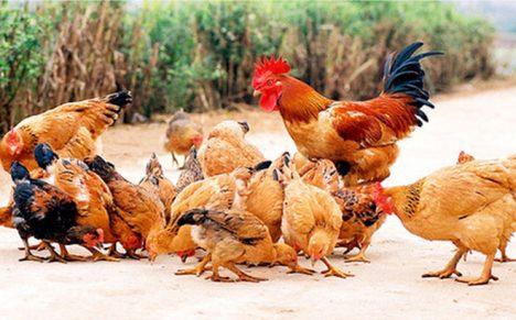 Thuyết minh về con gà