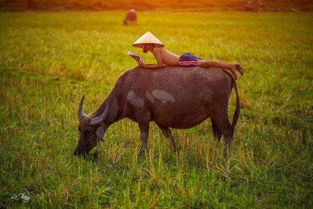 Thuyết minh về con trâu làng quê Việt Nam