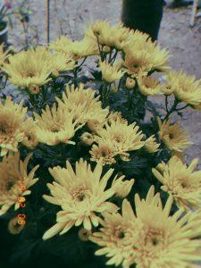 Chuyện tình hoa cúc