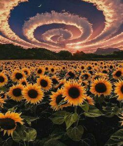 Hoa mặt trời