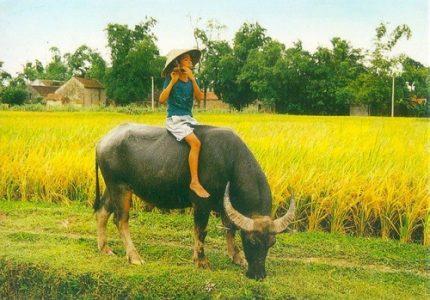 Con trâu ở làng quê Việt