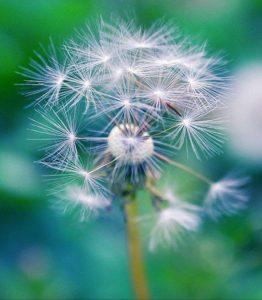 Cánh hoa tàn trong gió…