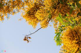 Thư gửi người con trai mùa hoa sưa vàng năm ấy